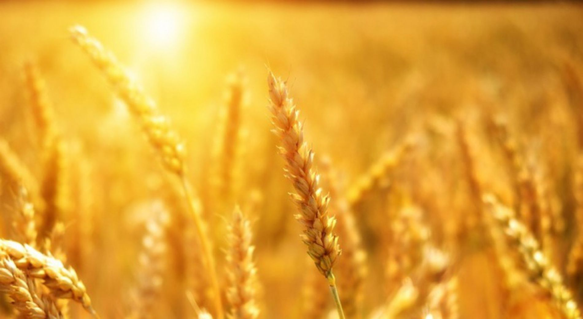 Урожай зерна в Сливене очень хорошего качества